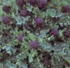 broccoli-red-spear