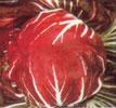 chicory-pallo-rossa