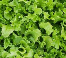 lettuce-green-salad-bowl-2