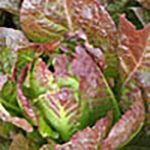 llettuce-red-romaine-500pixl