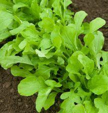 salad-rocket-2