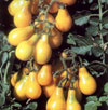 yellow-pear