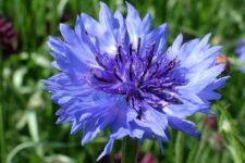 This is a plant portrait of Centaurea cyanus 'Blue Diadem'.