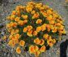 california-poppy-flowering-plant