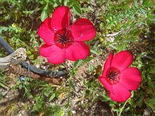 flax-scarlet