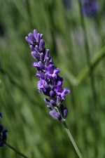 lavender-english