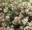 marjoram-in-flower