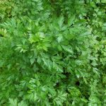 parsley-flat-leaved-4