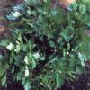 parsley-italian-giant