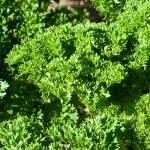 parsley-moss-curled-2