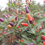 pepper-bolivian-rainbow