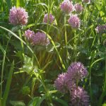 red-clover-flower-5