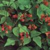 SCARLET-EMP-FLOWERS