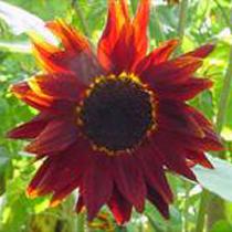 sunflower-prado-red-2