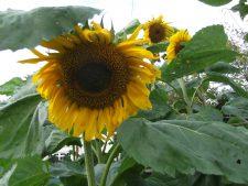 sunflower-tall-single