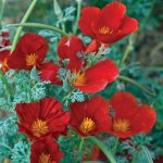 ESCHSCHOLZIA Red Chief