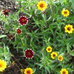 ZINNIA angustifolia 2
