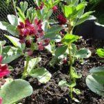 BROAD BEAN Crimson Flowered
