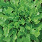 LETTUCE Green Oak Leaf