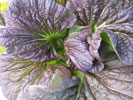 MUSTARD Osaka Purple