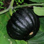 SQUASH Black Futsu3