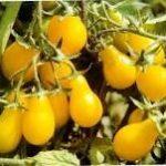 TOMATO Yellow Pear 2