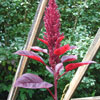 AMARANTH-Red-Army