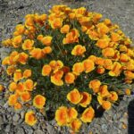 california-poppy-flowering-plant