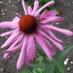 echinacea-2
