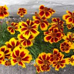 french-marigold-2