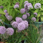 GARLIC CHIVES Blue