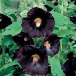 HOLLYHOCK Black