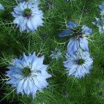 nigella-oxford-blue-3