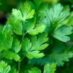 PARSLEY Flat Leaved