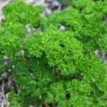PARSLEY Grune Perle
