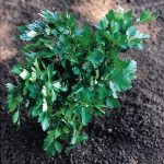 PARSLEY Italian Giant 2