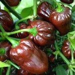 PEPPER Chocolate Habanero 2