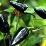 PEPPER Hungarian Black