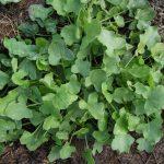 SORREL Bucklers Leaf