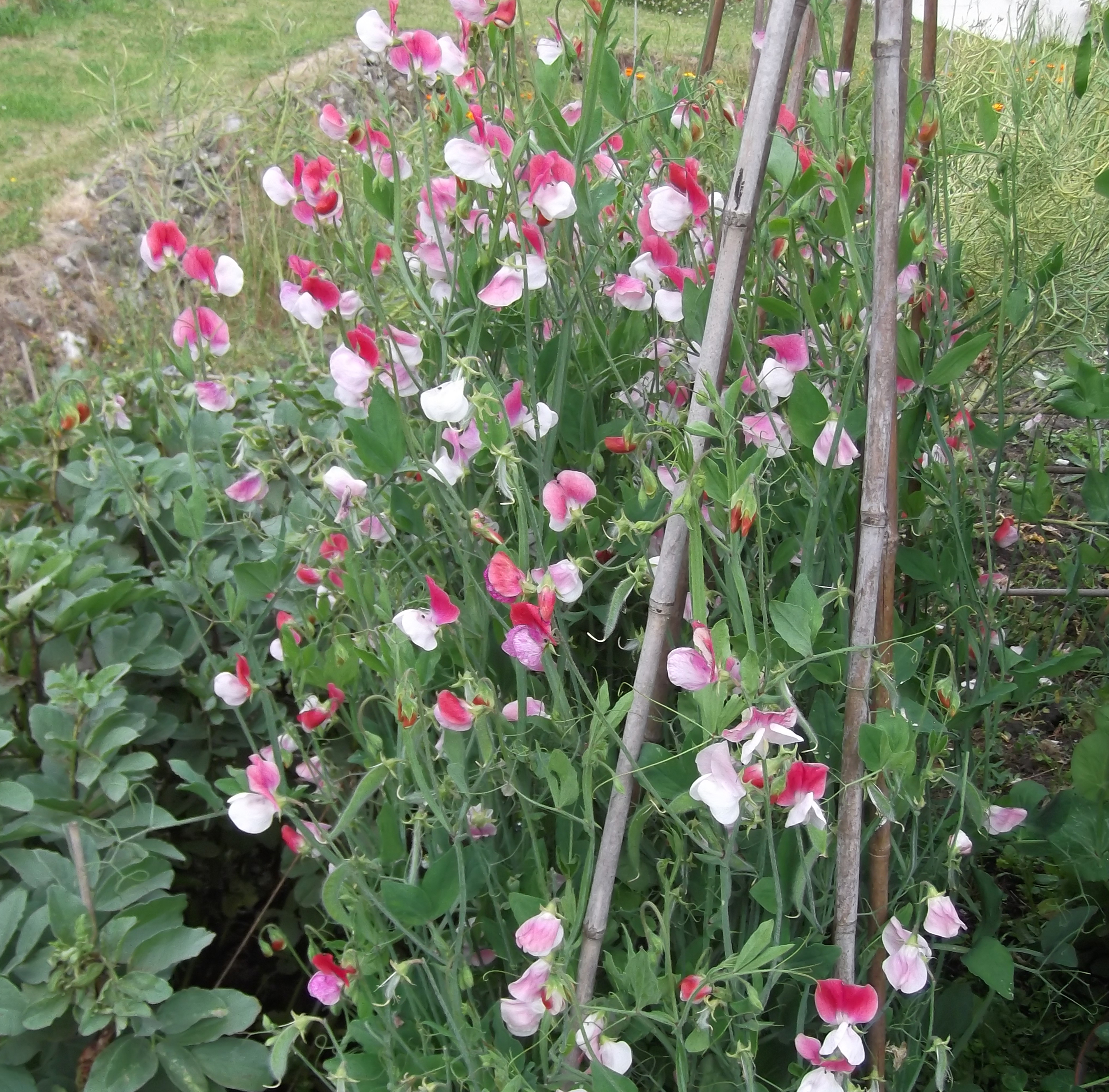 Image result for Sweet pea