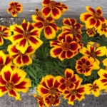 FRENCH MARIGOLD TW