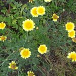 SHUNGIKU IN FLOWER