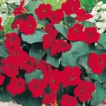 NASTURTIUM Empress of India 3