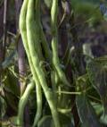 Phaseolus vulgaris 'Fortex'