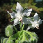 BORAGE White