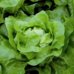 LETTUCE Buttercrunch