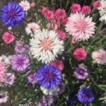 CORNFLOWER Mixed Colours