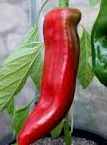 PEPPER Corno Rossa